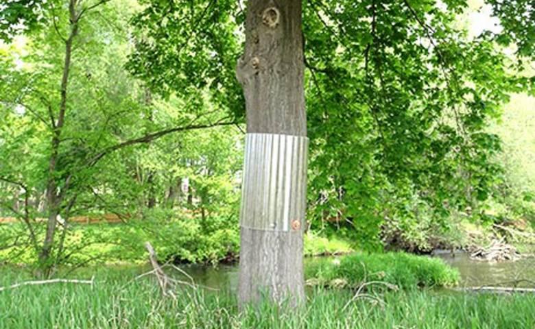 Ummantelung Greifvogel-Horstbäume